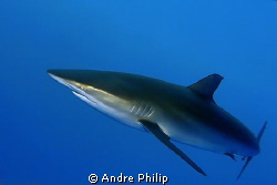 very self-confident silky shark check me up in a short di... by Andre Philip 